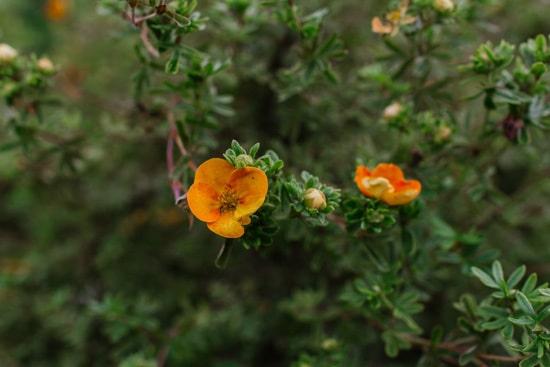 Cinquefoil Brightest Orange Perennial Flowers