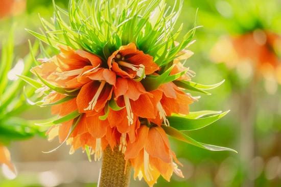 Fritillaria Brightest Orange Perennial Flowers