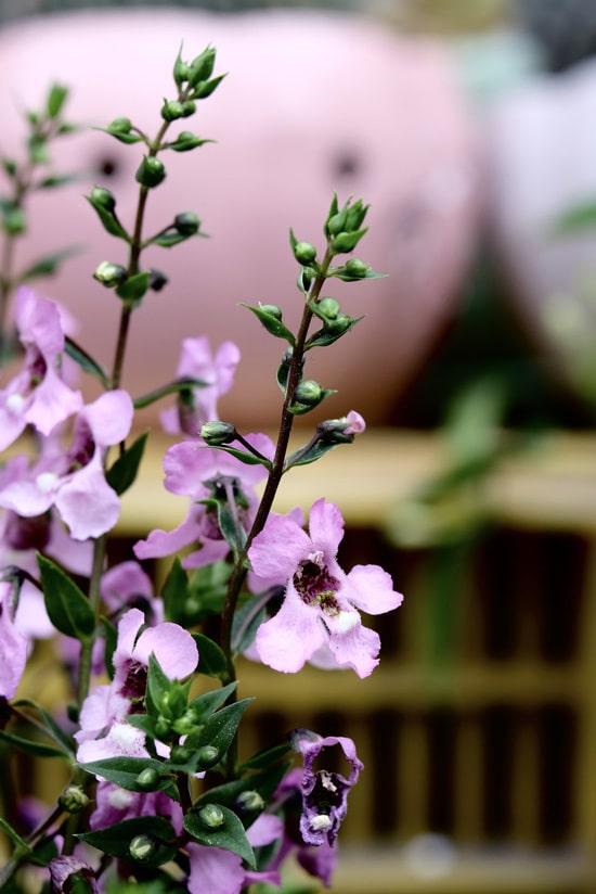 Full Sun Annual Flowers Angelonia
