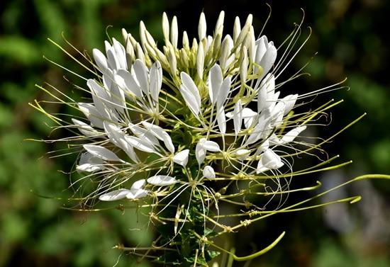 Full Sun Annual Flowers Cleome