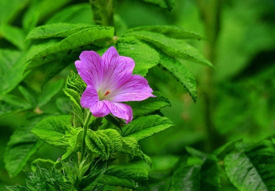 Full Sun Annual Flowers Geranium