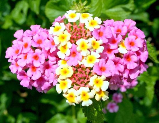 Full Sun Annual Flowers Lantana