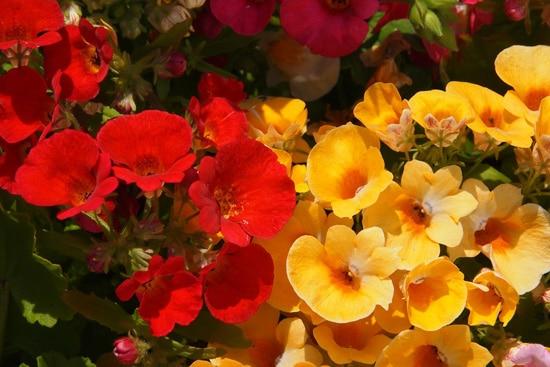 Full Sun Annual Flowers Nemesia