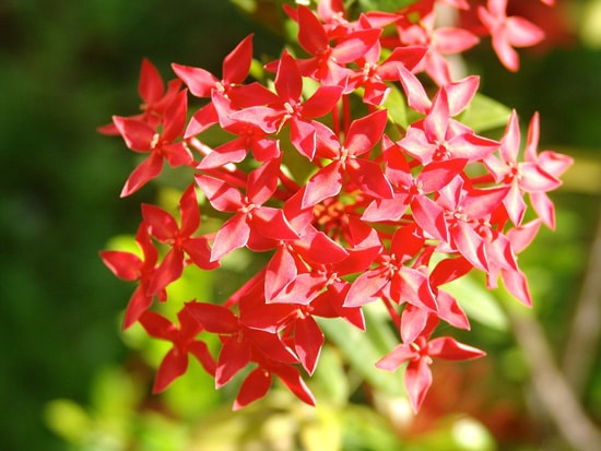 Full Sun Annual Flowers Pentas