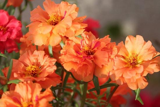 Full Sun Annual Flowers Purslane