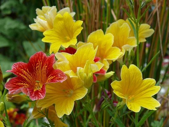Full Sun Annual Flowers Salpiglossis