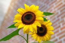 Full Sun Annual Flowers Sunflower