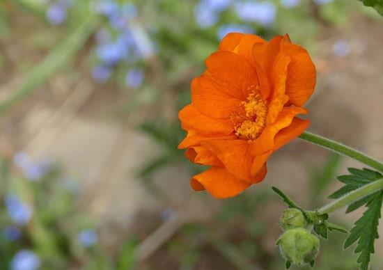 Geum Brightest Orange Perennial Flowers