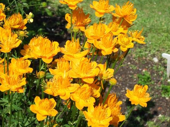 Globeflower Brightest Orange Perennial Flowers