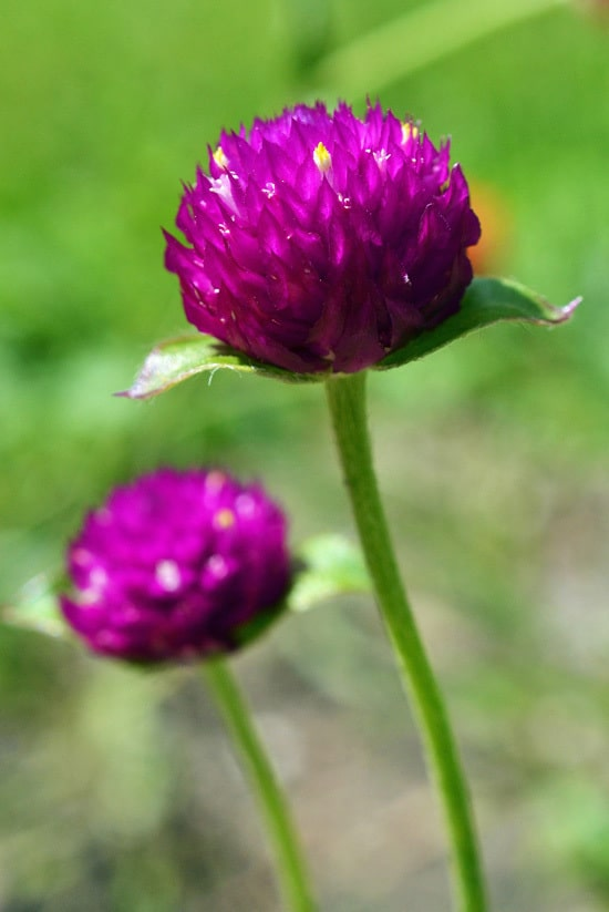 Gomphrena Full Sun Container Flowers