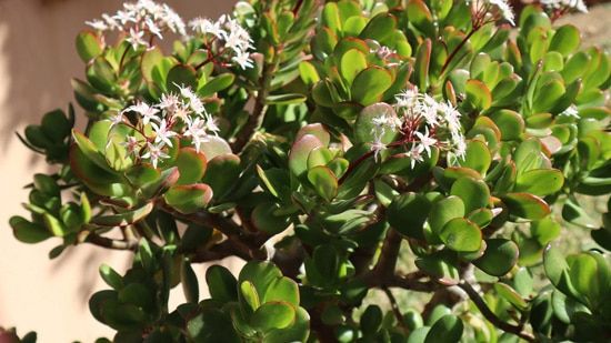 Jade Easy To Propagate Houseplants
