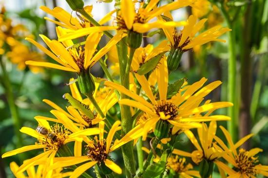 Leopard Plants Brightest Orange Perennial Flowers