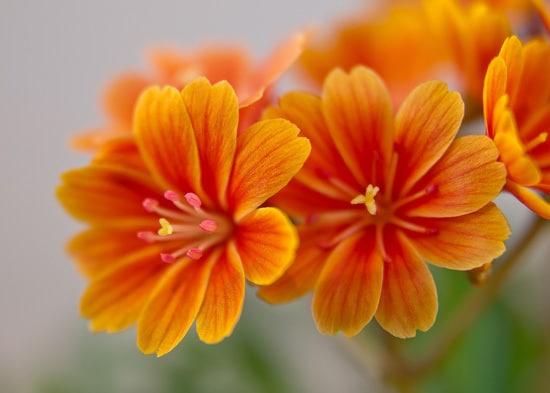 Lewisia Brightest Orange Perennial Flowers
