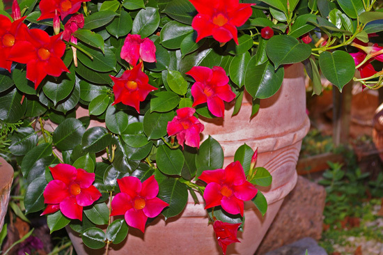 Mandevilla Full Sun Container Flowers