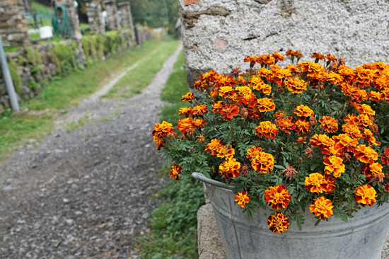 Marigold Full Sun Container Flowers
