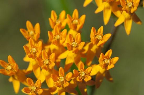 Milkweed Brightest Orange Perennial Flowers