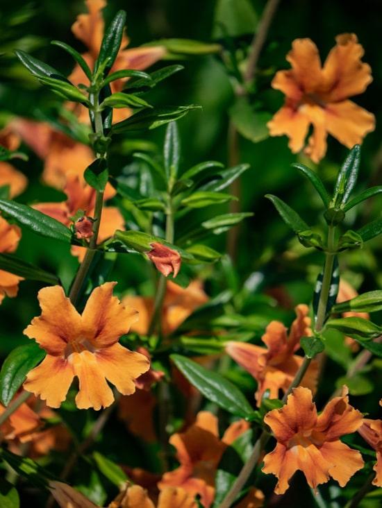 Monkey Flower Brightest Orange Perennial Flowers 1