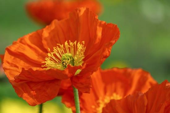 Poppies Brightest Orange Perennial Flowers
