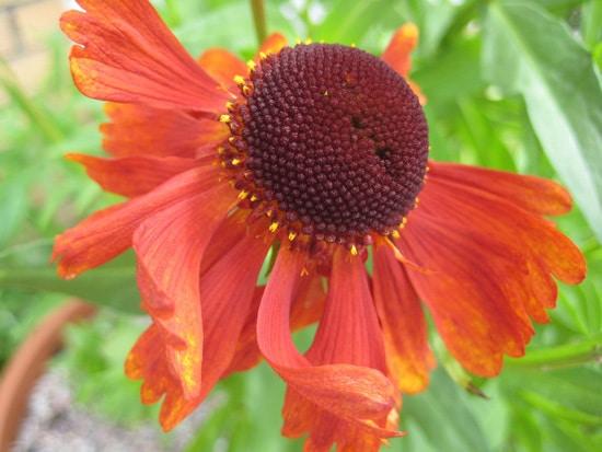 Sneezeweed Brightest Orange Perennial Flowers