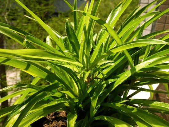 Spider Plants Easy To Propagate Houseplants