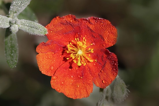 Sun Rose or Rock Rose Brightest Orange Perennial Flowers
