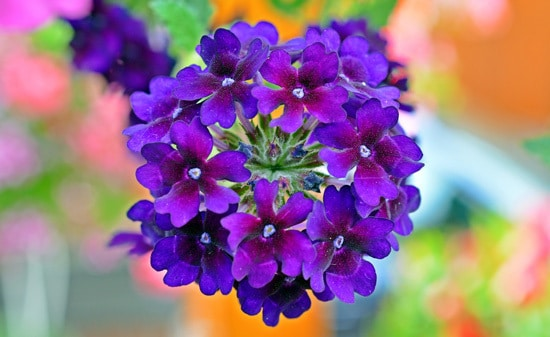 Verbena Full Sun Container Flowers
