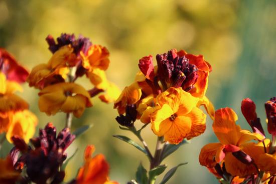 Wallflower Brightest Orange Perennial Flowers