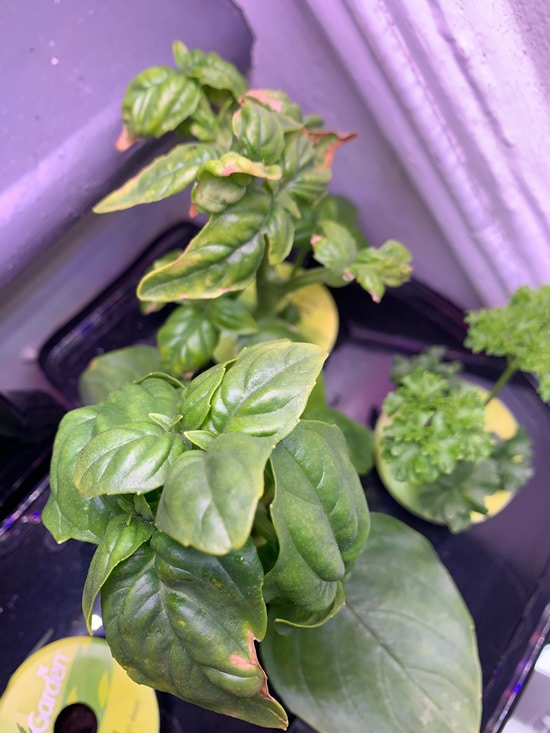 Why Are Your Basil Leaves Turning Yellow 2