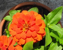 Zinnia Full Sun Container Flowers