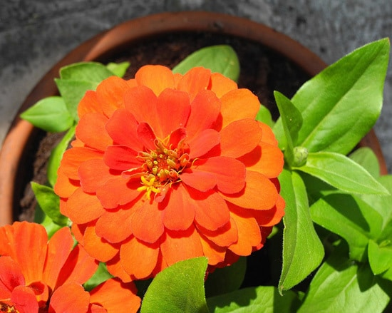 Zinnia Full Sun Container Flowers