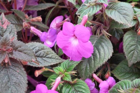 Achimenes Pink Perennials