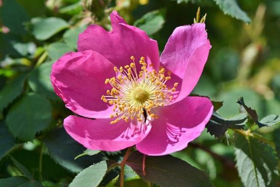 Anemone Pink Perennials