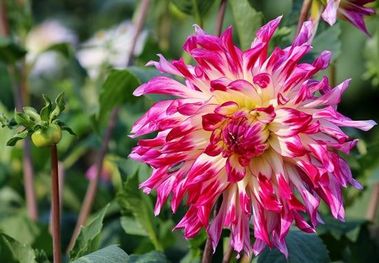 Aster Pink Perennials