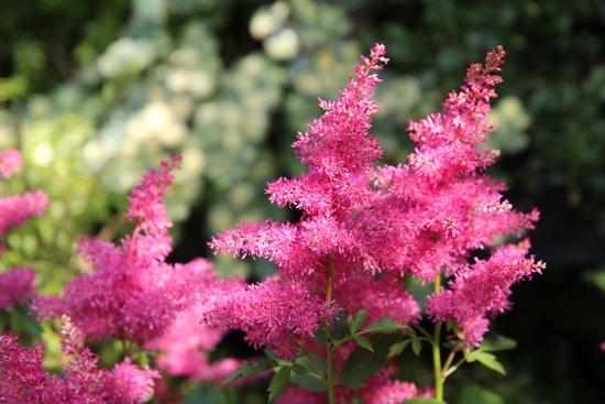 Astilbe Pink Perennials