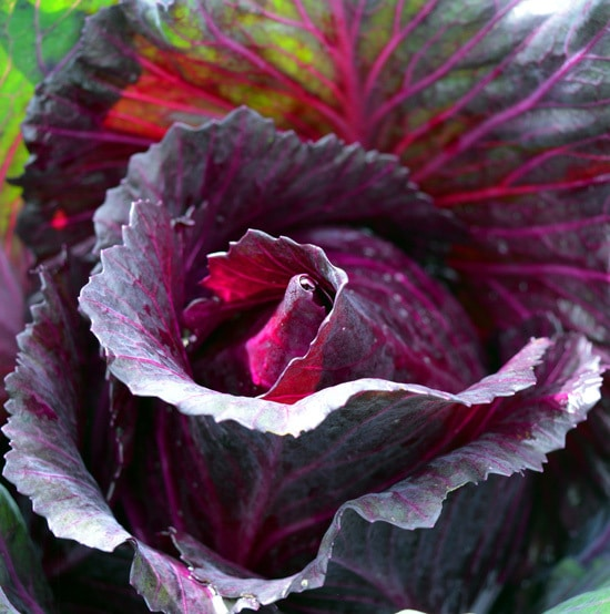 Cabbage Ornamental Vegetable Plants