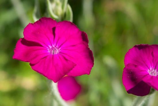 Campion Pink Perennials