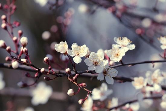 Cherry Blossoms Pink Perennials