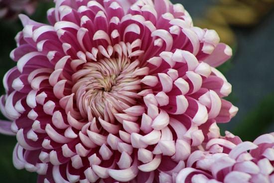 Chrysanthemum Pink Perennials