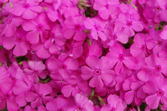 Creeping Phlox Pink Perennials