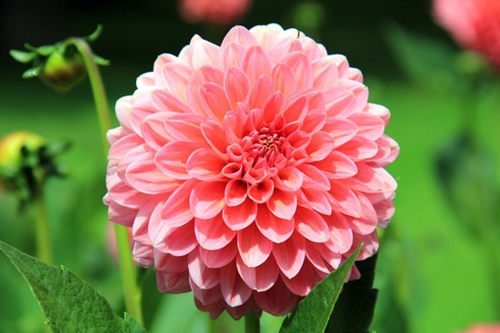 Dahlia Pink Perennials