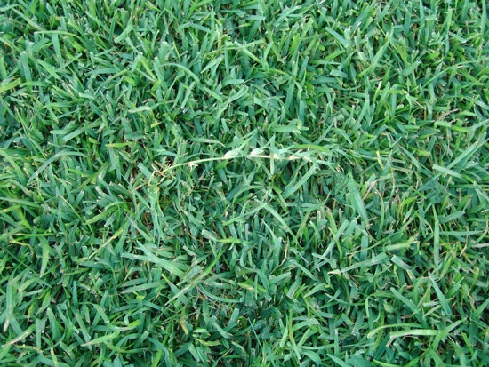 How to Make Bermuda Grass Thicker 3
