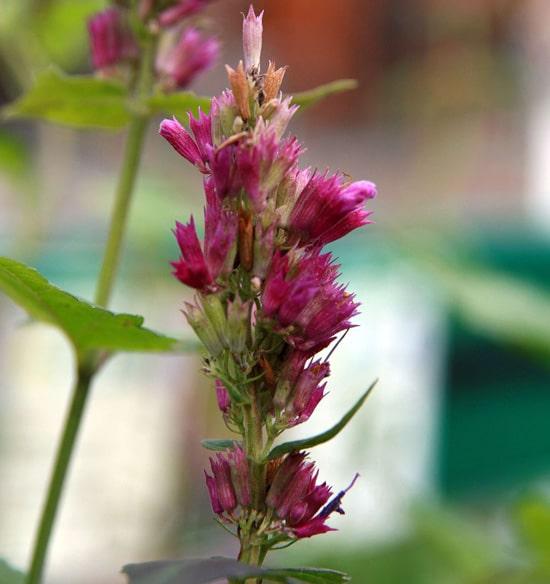 Hyssop Pink Perennials2