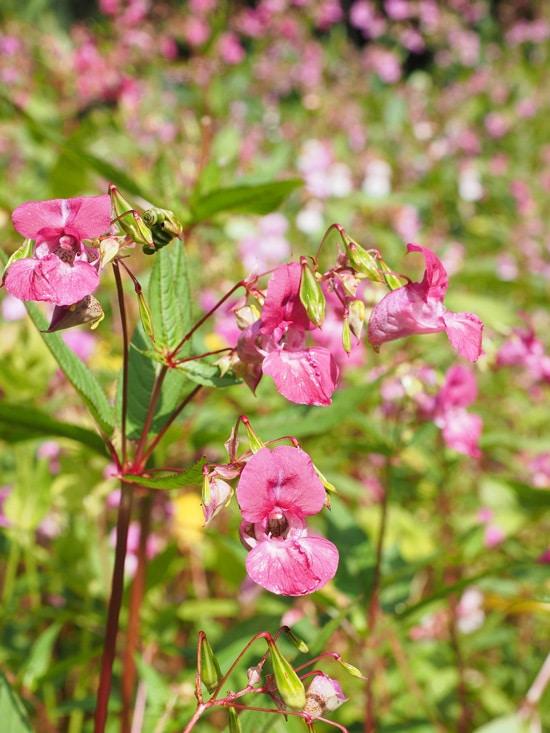 Impatiens Pink Perennials2