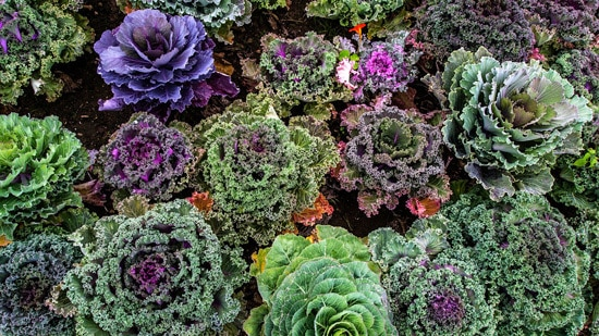 Kale Ornamental Vegetable Plants