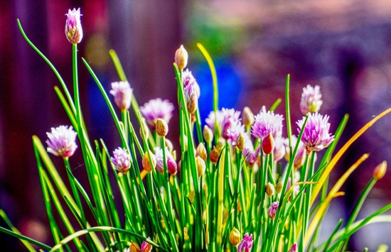 Leeks Chives and Scallions Ornamental Vegetable Plants