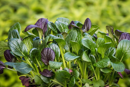 Malabar and Japanese Spinach Ornamental Vegetable Plants