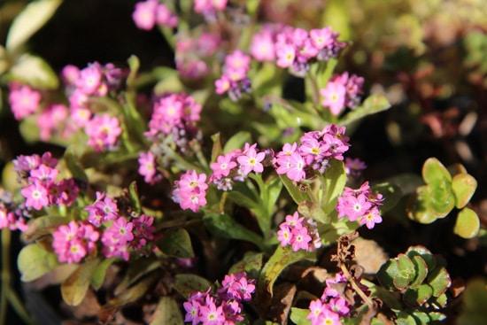 Myosotis or Forget Me Not Pink Perennials