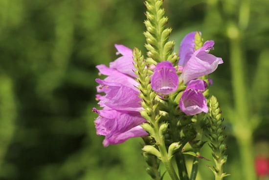 Obedient Plant Pink Perennials
