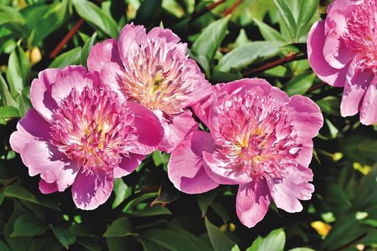 Peony Pink Perennials
