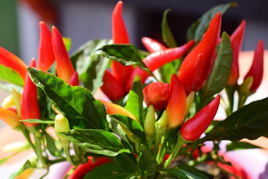 Peppers Ornamental Vegetable Plants